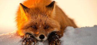 В центре Судиславля убили бешеную лису