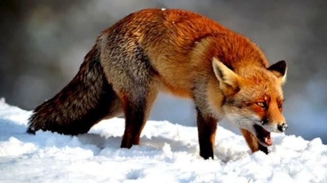 В Судиславском районе участились случаи появления диких лис в населенных пунктах